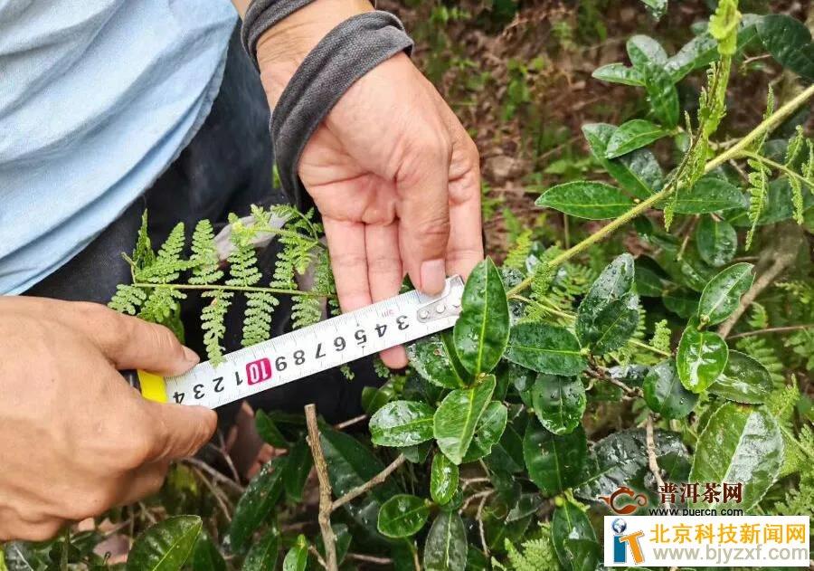 郴州市农科所:探寻野生茶叶资源,助推茶叶财富成长