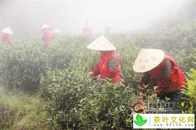玉环火山茶:这座海岛出产的茶叶全世界仅三个地域有